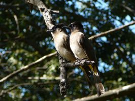 Feathered Friends - Bulbuls by Yellow-Weaver