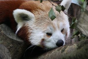 Red Panda 10 G by Cilmeron