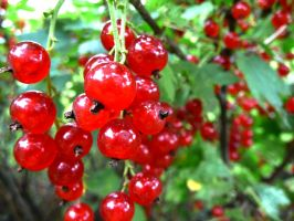 red red currants by krabatas