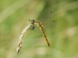 Dragonfly 5 by Scorpini-Stock