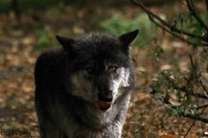 -TimberWolf in Profil- by WhiteSpiritWolf