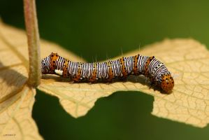 8 Spotted Forester caterpillar by natureguy