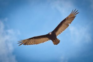 Andean Black Vulture by Niv24