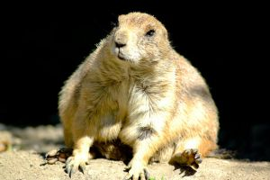 Prairie Dog by villewilson