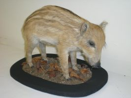 shote/baby boar by Taxidermy-novice