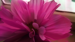 Flower of incredible pinkness by Scr1b3