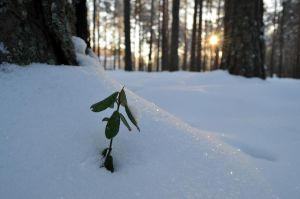 Snow cowberry by melodi996