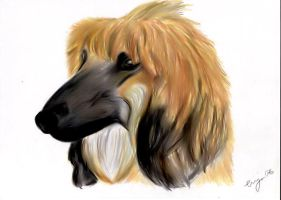 Afghan hound youngster by tinya