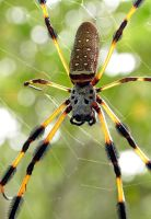 Banana Spider by flowerhippie22