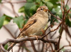 Female House Sparrow by natureguy