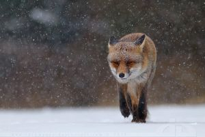 Fox in heavy weather by thrumyeye