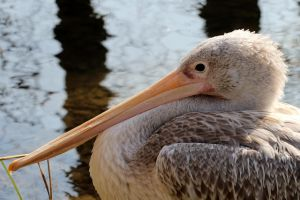 Pelican 2 by s-kmp