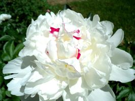 Double White Peony by Druid55