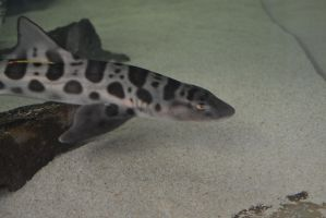 Leopard Shark by Jlyn1031