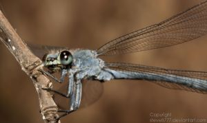 Dragonfly by Steve8777