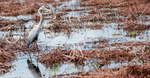 Great Blue Heron by CompassLogic