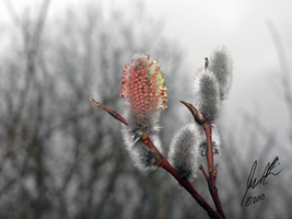 Pussy Willow Blossom by Sybaristail