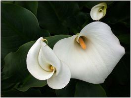 THREE CALLAS 10 by THOM-B-FOTO