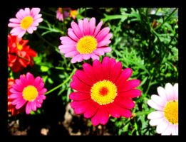 lovely daisies by STLUKA