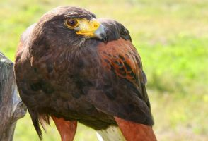Harris Hawk by kindlight