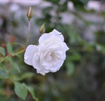 White rose by jennystokes