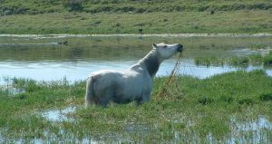 Horse in Water by boondock