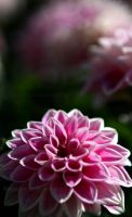 Dahlia in Pink by TheDevlyn