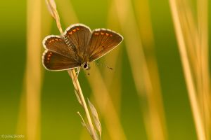 Brown Argus by JS2010