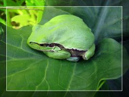 Tree Frog by maska13