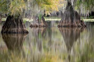 Bald Cypress by pyrexa