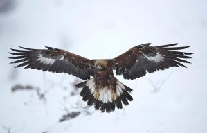 Golden Eagle landing by BogdanBoev