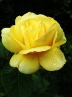 Yellow Rose by Harvy355