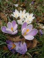 Crocus flowers by johnyquest31