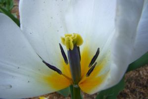 Tulips 9 by Panopticon-Stock