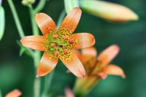 Sierra Tiger Lily by Caloxort
