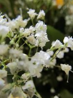 baby's breath by xdancingintherain