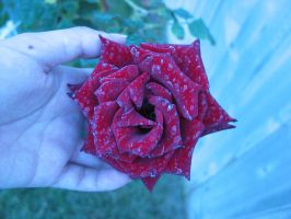 STOCK-rose-3 by CDS-stock