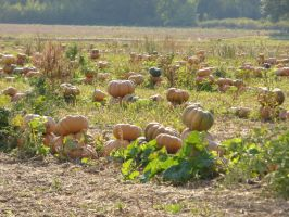 French field of pumpkins by A1Z2E3R