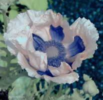 FS Scottish Miscellany 3 Poppy by Okavanga