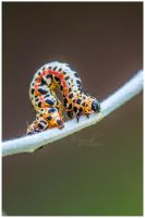 Magpie Caterpillar by SianMurrell