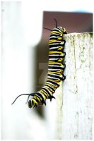 Monarch Caterpillar by ospr