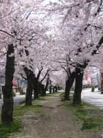 Cherry Blossom Street by JeanneABeck