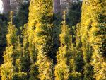 XI Stereo Golden Yew Canyon With Ivy In Heatfield by aegiandyad