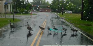 Geese Crossing by Cheedo6