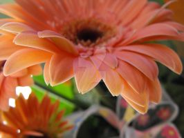 Pink Daisy 1 by Eisoptrophobic