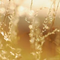 golden light by christinegeier