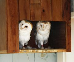Owls by Barry-Nev