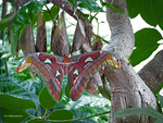 Atlas moth by Mogrianne