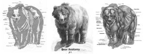 Animal Anatomy: Grizzly Bear by 89ravenclaw