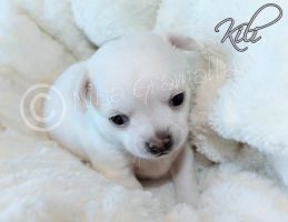 Chihuahua puppy Kili 21.04.2015 by BlackAngelPromotion
